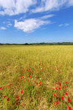 Menorca Ciutadella green grass meadows with red poppies Stock Photo