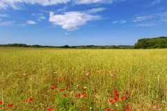 Menorca Ciutadella green grass meadows with red poppies Royalty Free Stock Photo