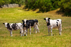 Menorca Friesian cow cattle grazing in green meadow Royalty Free Stock Photography