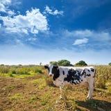 Menorca friesian cow grazing near Ciutadella Balearic Royalty Free Stock Image