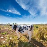 Menorca friesian cow grazing near Ciutadella Balearic Royalty Free Stock Photography
