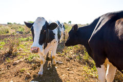 Menorca friesian cows cattle  grazing near Ciutadella Stock Images
