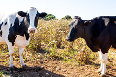 Menorca friesian cows cattle  grazing near Ciutadella Royalty Free Stock Image