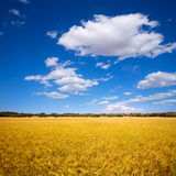 Menorca golden wheat fields in Ciutadella Stock Image