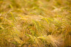 Menorca golden wheat fields in Ciutadella Stock Photos