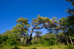 Menorca oak tree forest in northern cost near Cala Pilar Stock Photo