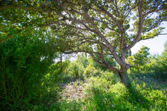 Menorca oak tree forest in northern cost near Cala Pilar Stock Image