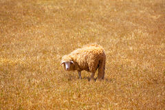 Menorca sheep grazing in golden dried meadow Royalty Free Stock Image