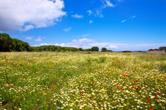 Menorca spring field with poppies and daisy flowers Royalty Free Stock Photos