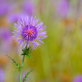 Menorca spring thistle purple flowers Royalty Free Stock Photography