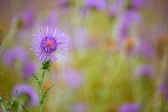 Menorca spring thistle purple flowers Stock Photos