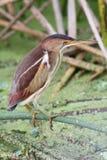 Menos água-mãe (exilis do Ixobrychus) Fotografia de Stock