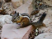 Menos esquilo (minimus do Tamias) que come e que senta-se em uma pedra Fotos de Stock