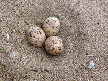 Menos ovos da andorinha-do-mar Imagem de Stock