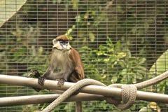 Menos Punto-olfatearon el mono foto de archivo