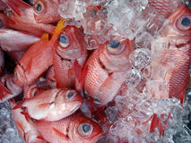 Menpachi rouge sur la glace photos stock