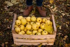 Mens dichtbij houten doos van gele rijpe gouden appelen in het boomgaardlandbouwbedrijf Kweker het oogsten in de tuin houdt organ royalty-vrije stock foto
