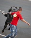 Mens die achter een stier lopen Tourada een corda Terceira azores Royalty-vrije Stock Foto's