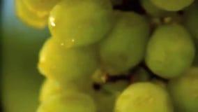 Mens die een groene druif van wijnstok plukken stock video
