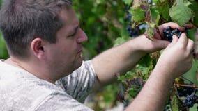 Mens die een uitproberende rijpe druivenbessen plukken stock footage