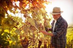 Mens die in een wijngaard werken stock afbeelding