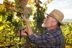 Mens die in een wijngaard werken stock fotografie