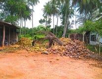 Mens die kokosnoten schillen Stock Foto