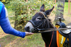 Mens die met hand een ezel voeden Royalty-vrije Stock Afbeelding
