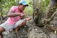 Mens die oesters op de mangroven van Atins in Brazilië verzamelt stock foto