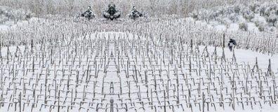 Mens die onder rijen van wijnstokken in de sneeuw lopen Royalty-vrije Stock Foto