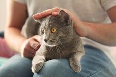 Mens die pluizige grijze kat, close-up strijken Leuke kat in de overlapping van de mens Het binnenlandse leven met huisdier Russi royalty-vrije stock foto