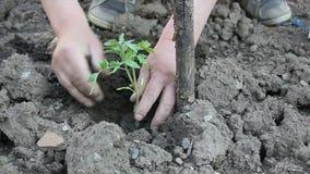 Mens die tomaat planten stock videobeelden