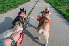 Mens die twee schor honden in park, achtermening lopen Siberische schor met oranje rugzakken die op de de zomerweg lopen stock afbeelding