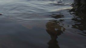 Mens die vissen in vijver vrijgeven, species die, het kuit schieten, milieubescherming kweken stock footage