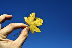 Mens hand holding yellow autumn maple (Acer) leaf against blue sky Stock Photos