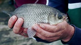 Mens hands holding a fish. Fisherman caught a fish. Successful catch on fishing. Mens hands holding a fish. Fisherman caught a fish. Close up fish in hands stock footage