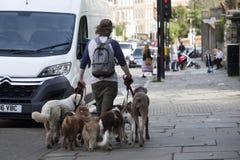 Mens het lopen honden op leibanden Stock Foto's