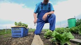 Mens het Oogsten de Salade van Tuin schoot wijd Langzame Motie stock footage