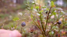 Mens het plukken bosbessen in herfst Slowmotion bos4k stock videobeelden