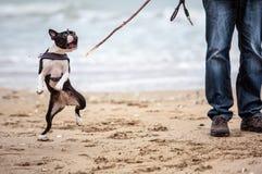 Mens met Boston Terrier stock foto