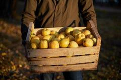 Mens met houten doos van gele rijpe gouden appelen in het boomgaardlandbouwbedrijf Kweker het oogsten in de tuin houdt organisch royalty-vrije stock afbeelding