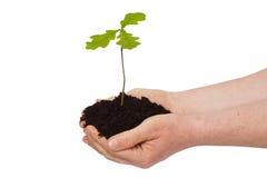 Mens met jonge eiken boom Stock Foto