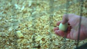 Mens van de ei bewerkt in hand landbouwer in van het landbouwbedrijfturkije van de gevogeltekip de yardlandbouwbedrijf, kippen in stock videobeelden