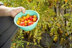 Mens verzamelen gele en rode tomaten op de reusachtige tuin Stock Foto