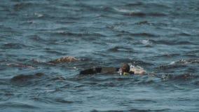 Mens in zwart vest op een straalski die nauwkeurig door surfer overgaan die in water drijft stock footage