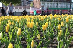 mensageiros amarelos das tulipas da separação imagem de stock