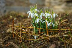 Mensajeros de la primavera en el jardín foto de archivo