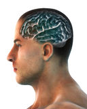 Mensch Brain Anatomy Stockfoto