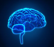 Mensch Brain Anatomy Lizenzfreie Stockfotografie