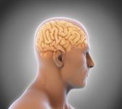 Mensch Brain Anatomy stock abbildung